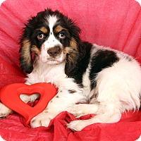Adopt A Pet :: Orion Cocker - St. Louis, MO