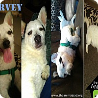 Adopt A Pet :: Harvey - San Diego, CA