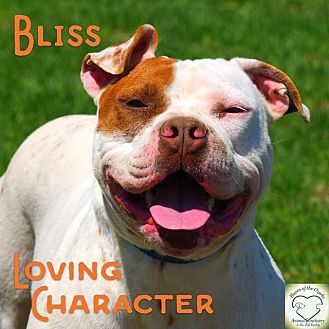 Pit Bull Terrier/American Bulldog Mix Dog for adoption in Washburn, Missouri - Bliss