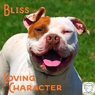 American Bulldog/American Staffordshire Terrier Mix Dog for adoption in Washburn, Missouri - Bliss