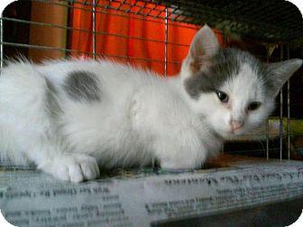 Domestic Shorthair Cat for adoption in Bourbonnais, Illinois - Spot
