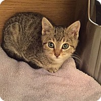 Domestic Shorthair Cat for adoption in Baltimore, Maryland - Marybeth