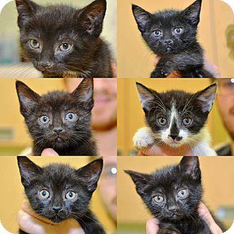Bombay Kitten for adoption in Brooklyn, New York - The Fabulous Flower Kittens