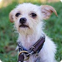 Maltese/Chihuahua Mix Dog for adoption in San Diego, California - Fonduta