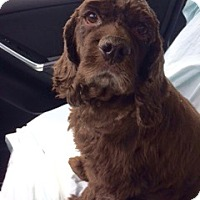 Cocker Spaniel Dog for adoption in Sugarland, Texas - Winston Clark