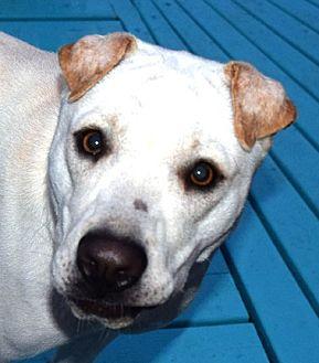 Shar Pei Mix Dog for adoption in Cincinnati, Ohio - Eli May