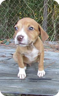 Hound (Unknown Type) Mix Puppy for adoption in Warrenton, North Carolina - Dallas
