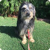 Adopt A Pet :: Brody - El Segundo, CA