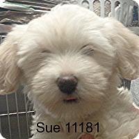 Adopt A Pet :: Sue - Alexandria, VA