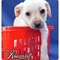 Adopt A Pet :: Roosevelt - Simi Valley, CA