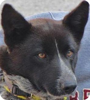 Australian Cattle Dog Mix Dog for adoption in Bloomington, Illinois - Robin