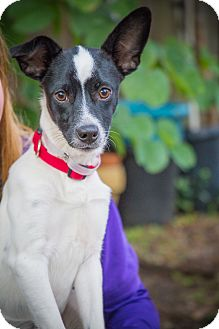 Rat Terrier Mix Dog for adoption in Houston, Texas - Festus