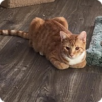 Domestic Shorthair Kitten for adoption in Fountain Hills, Arizona - Gnash