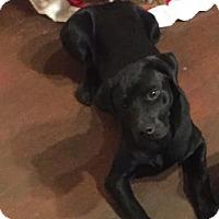 Adopt A Pet :: Lyra - Newport, KY