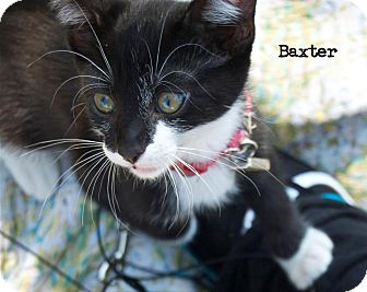 Domestic Shorthair Kitten for adoption in Santa Monica, California - Baxter