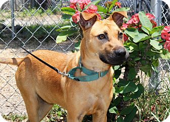 Shepherd (Unknown Type) Mix Dog for adoption in Bradenton, Florida - Destiny