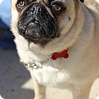 Adopt A Pet :: Bugsy - Tinton Falls, NJ