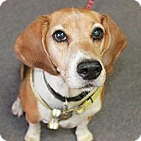 Adopt A Pet :: Chester Boy - Phoenix, AZ