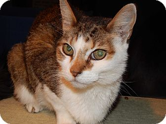 Calico Cat for adoption in Mesa, Arizona - Lindsay