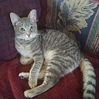 Domestic Shorthair Cat for adoption in Fort Pierce, Florida - DAN (aka Dancer)