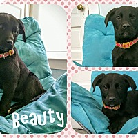 Adopt A Pet :: Beauty - DOVER, OH