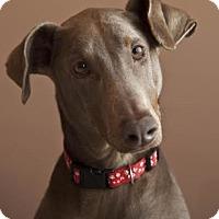 Adopt A Pet :: Simone - Hanover, PA
