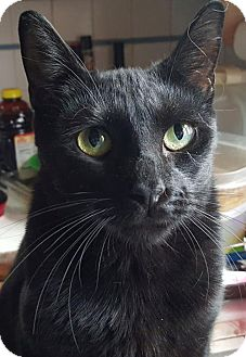 Domestic Shorthair Cat for adoption in Woodbury, New Jersey - Balthazar