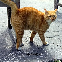Domestic Shorthair Cat for adoption in Naples, Florida - Naranja