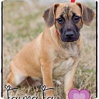 Adopt A Pet :: Faye - Harmony, Glocester, RI