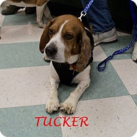Adopt A Pet :: TUCKER - Ventnor City, NJ