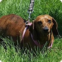 Adopt A Pet :: Bella - Hollywood, MD