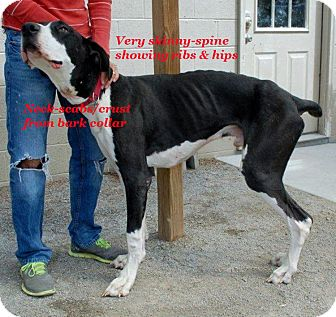 Great Dane Dog for adoption in Pearl River, New York - Buddy