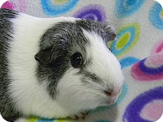 Guinea Pig for adoption in South Bend, Indiana - Violet