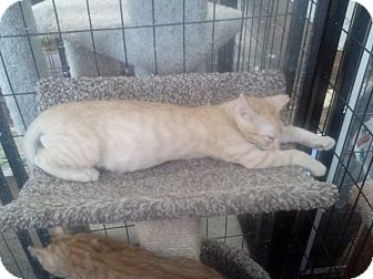 Domestic Shorthair Kitten for adoption in YOUNGTOWN, Arizona - Dante