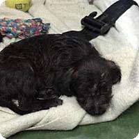 Adopt A Pet :: Sidney - Saddle Brook, NJ