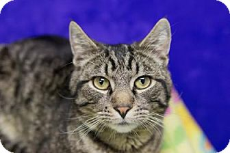 Domestic Shorthair Cat for adoption in Lowell, Massachusetts - Nicky