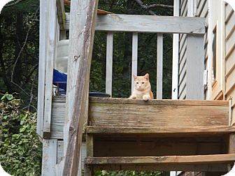 Domestic Shorthair Kitten for adoption in North Wilkesboro, North Carolina - Picollo