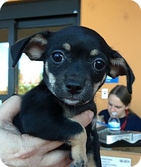 Chihuahua/Dachshund Mix Puppy for adoption in Santa Ana, California - Alphie (<2 lbs)