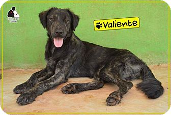 Flat-Coated Retriever Mix Dog for adoption in St. Catharines, Ontario - Valiente