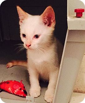 Siamese Kitten for adoption in Fort Lauderdale, Florida - Boom-Boom
