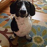 Adopt A Pet :: Barney - Taunton, MA