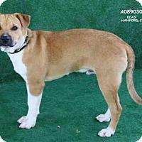 Adopt A Pet :: A089030 - Hanford, CA