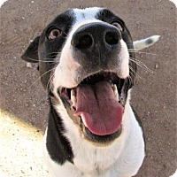 Adopt A Pet :: Lucky - San Tan Valley, AZ