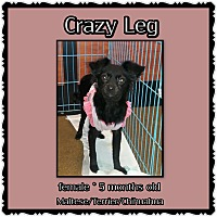 Chihuahua/Maltese Mix Puppy for adoption in Richmond, California - Crazy Legs
