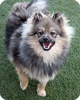 Keeshond Dog for adoption in Los Altos, California - Manrico