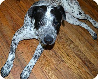 Labrador Retriever/Blue Heeler Mix Dog for adoption in Homewood, Alabama - Cookie