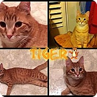 Adopt A Pet :: Tiger - Washington, DC