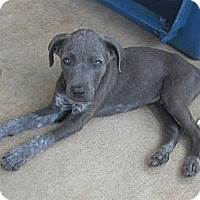 Adopt A Pet :: Gentry - Arlington, TX