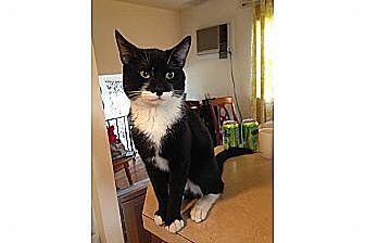 Domestic Shorthair Cat for adoption in New York, New York - Boris
