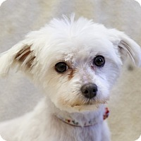 Adopt A Pet :: Roxy - Ile-Perrot, QC